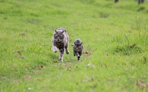 Picture greens, cat, grass, kitty, grey, run