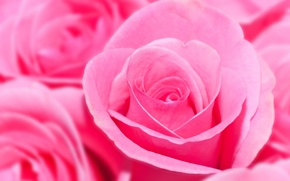 Picture flowers, roses, bouquet, pink, a lot