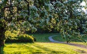 Picture flowers, tree, flowering, Sweden, Sweden, spring
