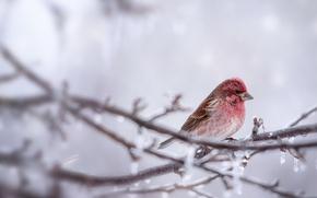 Wallpaper branch, bird, nature