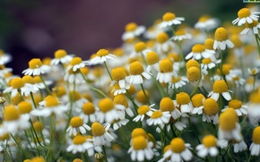 Wallpaper macro, nature, chamomile