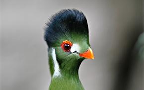 Picture eyes, bird, feathers, beak, turako