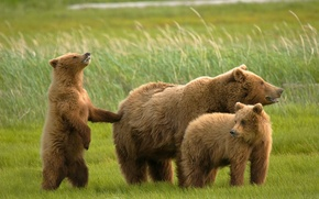 Wallpaper bears, bears, grizzly
