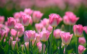Picture pink, spring, tulips, buds