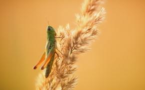 Wallpaper background, grasshopper, nature