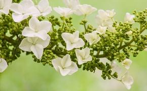 Picture macro, flowers, hydrangea, inflorescence, Hydrangea oakleaf