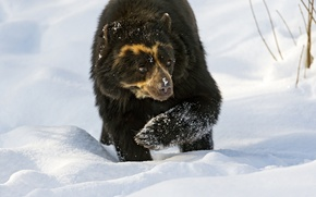 Picture winter, snow, bear, the snow, spectacle
