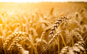 Picture wheat, field, the sun, macro, background, widescreen, Wallpaper, rye, wallpaper, field, widescreen, background, macro, full …