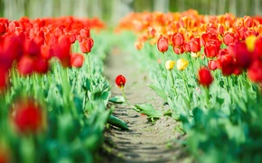 Picture red, flowers, flowers, green, widescreen, widescreen, background, HD wallpapers, Wallpaper, tulips, leaves, full screen, background, …