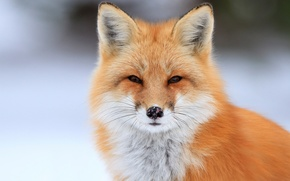 Picture portrait, Fox, Fox