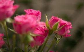 Wallpaper droplets, Rosa, roses, bouquet, pink