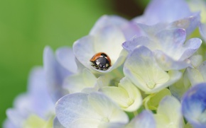 Picture macro, flowers, plant, ladybug, beetle, petals, light, insect, hydrangea