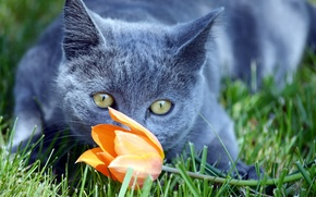 Wallpaper flower, cat, look, Koshak, Tomcat