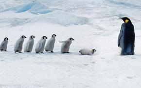 Picture Chicks, Antarctica, Emperor penguin, Snow Hill Island