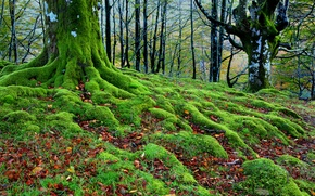 Wallpaper autumn, forest, trees, roots, moss