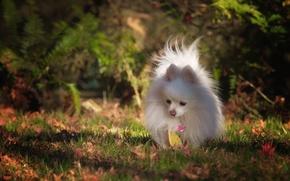 Picture autumn, dog, Pomeranian, the orange