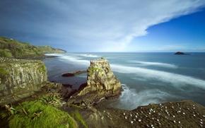 Picture New Zealand, Auckland, Muriwai Beach, Australasian gannet colony
