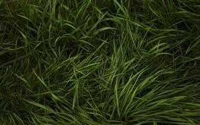 Wallpaper grass, greens, weed