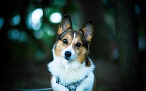 Wallpaper dog, look, bokeh, each, dog, welsh corgi