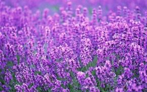 Picture field, summer, flowers, purple, lavender