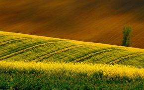 Picture field, tree, rape, arable land