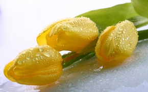 Picture leaves, drops, flowers, Rosa, beauty, bouquet, petals, tulips, yellow, water, yellow, flowers, beauty, drops, petals, …