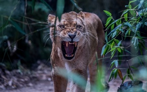 Picture face, anger, predator, rage, mouth, fangs, grin, lioness, aggression, wild cat, roar, the threat