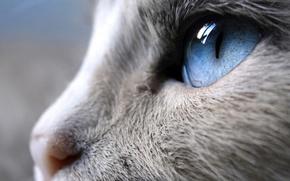 Picture cat, face, close-up, Siam