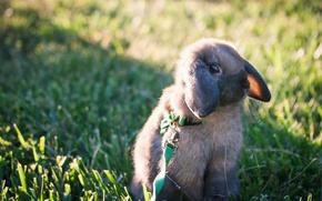 Picture rabbit, leash, walk, rabbit