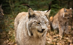 Picture cat, look, face, lynx