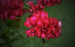 Picture red, red, flowers, flowering, Flowers, bokeh, bokeh, flowering
