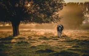 Wallpaper fog, cow, morning