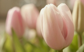 Wallpaper flower, macro, flowers, pink, tenderness, spring, Bud, Tulip