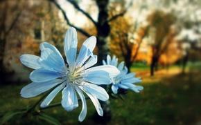 Picture autumn, flower, petals, pair, chicory