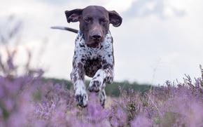 Wallpaper dog, German pointer, shorthaired pointer, German shorthaired pointer, walk, running, meadow, Heather