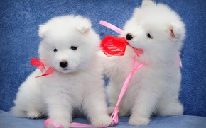 Picture Samoyed, kids, a couple, dogs, puppies