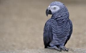Picture bird, parrot, Jaco