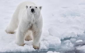Wallpaper water, snow, ice, white, polar, bear
