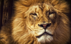 Picture look, face, cats, portrait, Leo, king, mane, wild cats, king, important