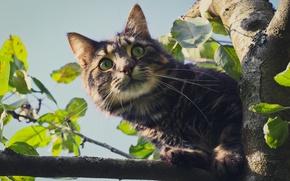 Picture eyes, cat, look, tree, Koshak