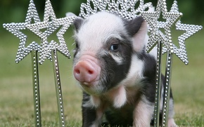 Picture stars, crown, Princess, pig