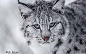 Picture lynx, predator, face, wild cat