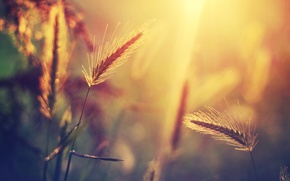 Wallpaper grass, the sun, macro, light, glare, plant, blur, spikelets
