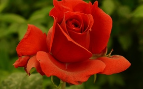 Picture rose, red, red, Rose