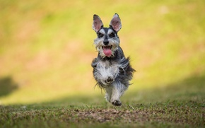 Picture language, grass, dog, running, grass, dog, jumping, jumping, camp, tongue, camp, running