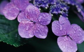 Picture purple, drops, flowers, Rosa, plant, petals, purple