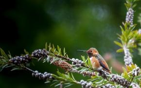 Picture macro, nature, berries, branch, bird