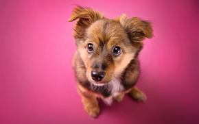 Wallpaper background, puppy, look, dog