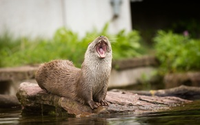 Picture stone, mouth, yawns, otter