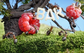 Picture summer, grass, macro, trees, insects, raspberry, wine, stay, the situation, bar, ants, Wallpaper from lolita777, …